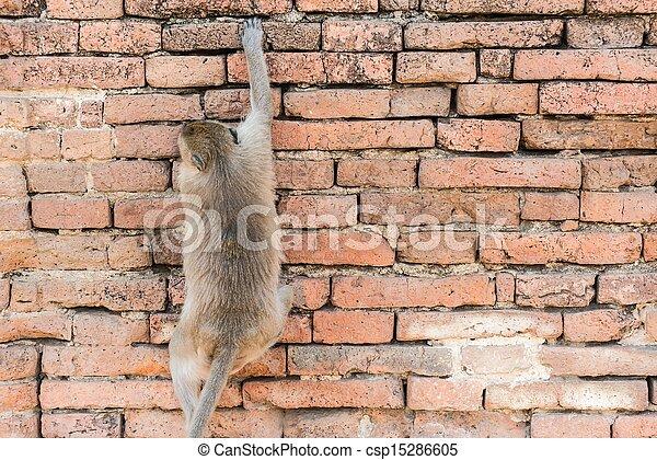 Thai Asian Wild Monkey Climbing On Red Brick Wall