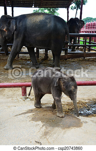 Thai Baby Elephant The Thai Elephant Symbol Of Nation Elephants