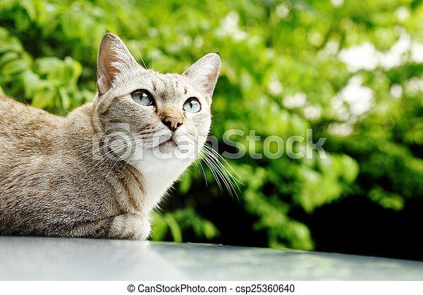 thai cat - csp25360640