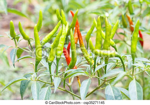 Thai Chili Close Up Thai Bird Chili In Garden Harvest Plantation