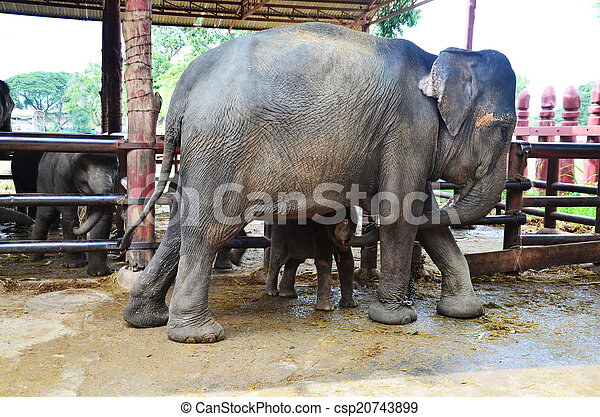 The Thai Elephant Symbol Of Nation Elephants Have Been Stock