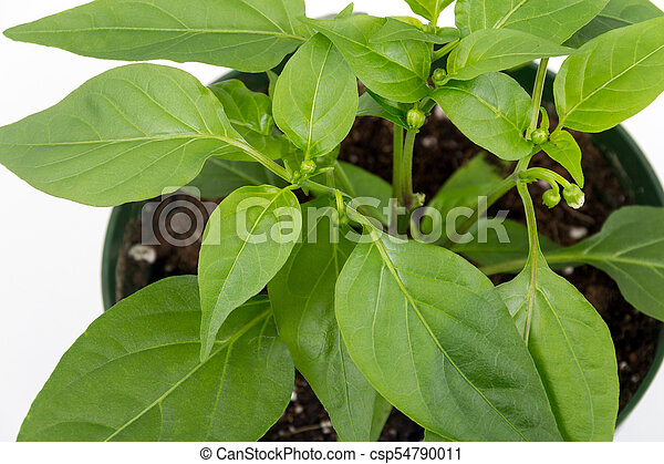 thai hot pepper potted plant isolated over white background - csp54790011