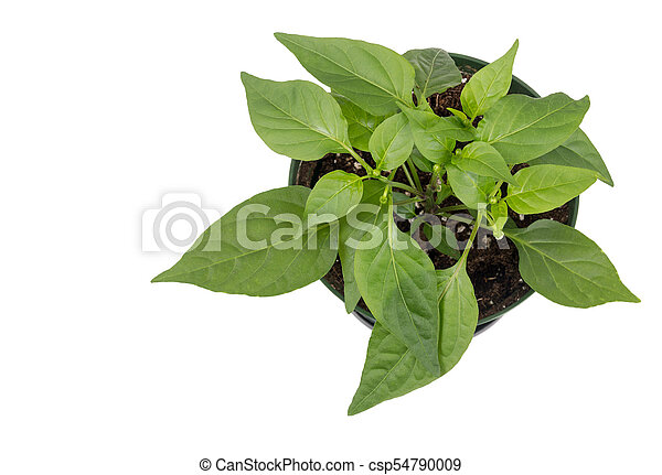 thai hot pepper potted plant isolated over white background - csp54790009