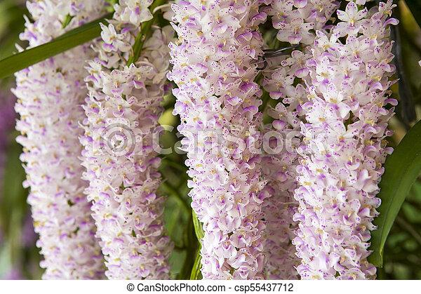 Thai pink orchid in the garden - csp55437712