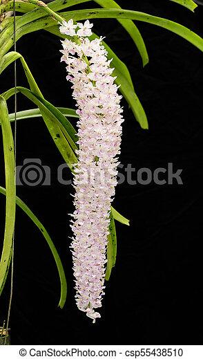Thai pink orchid in the garden - csp55438510