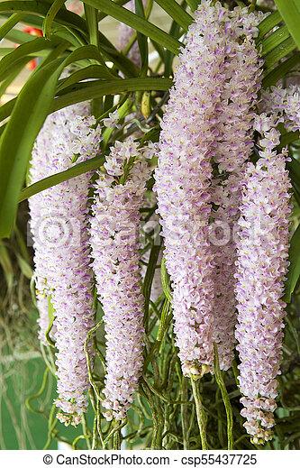 Thai pink orchid in the garden - csp55437725