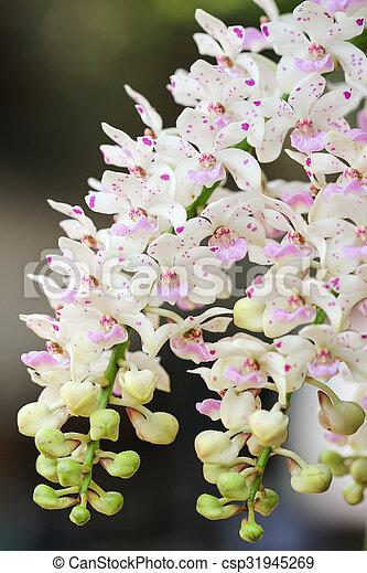 thailand orchidee arten rhynchostylis stockbild suche fotos und foto clipart csp31945269. Black Bedroom Furniture Sets. Home Design Ideas