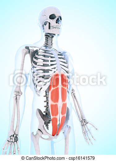 The Abdominal Musculature 3d Rendered Illustration Of The Abdominal