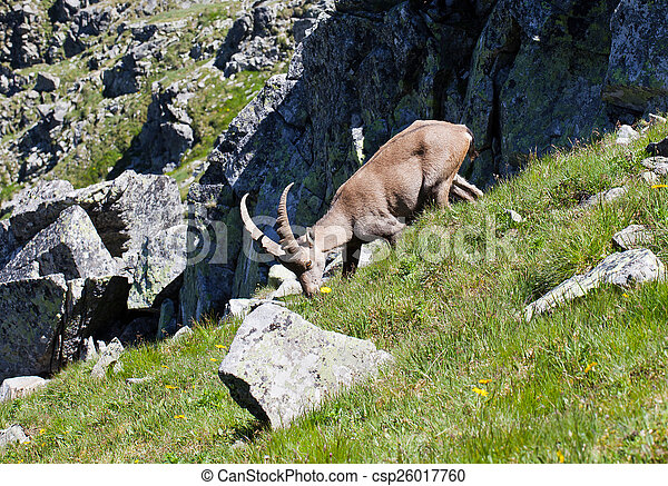 The Alpine ibex, (Capra ibex), is a species of wild goat that lives in the mountains of the European Alps. In its habitat region, the species is known as bouquetin (French), Steinbock (German), stambe - csp26017760