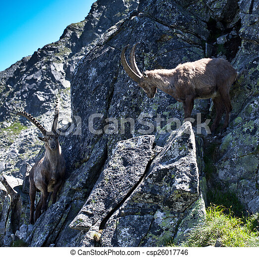 The Alpine ibex, (Capra ibex), is a species of wild goat that lives in the mountains of the European Alps. In its habitat region, the species is known as bouquetin (French), Steinbock (German), stambe - csp26017746
