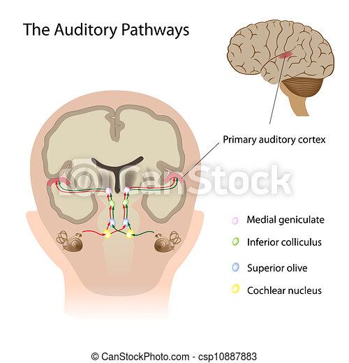 The auditory pathways, eps10 - csp10887883