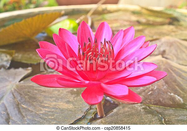 The beautiful Blooming lotus flower - csp20858415
