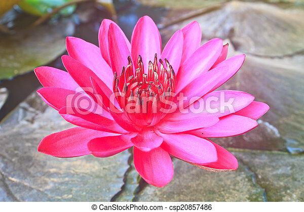 The beautiful Blooming lotus flower - csp20857486