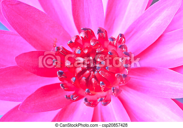 The beautiful Blooming lotus flower - csp20857428