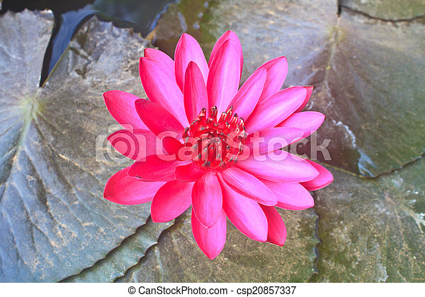 The beautiful Blooming lotus flower - csp20857337