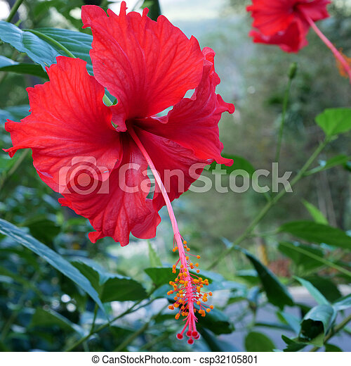 The Beautiful Red Shoe Flower Hibiscus Or China Rose