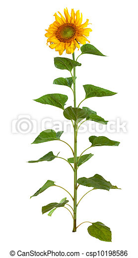 The beautiful sunflower isolated on a white background - csp10198586