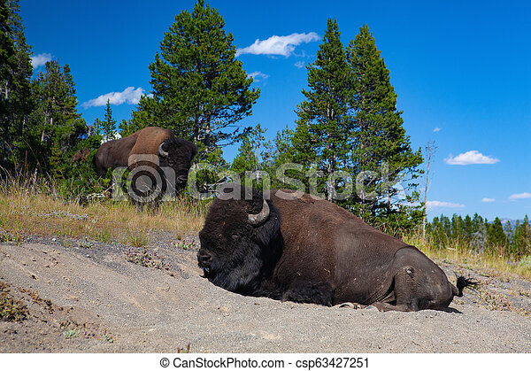 The bison in Yellowstone National Park, Wyoming. USA. - csp63427251