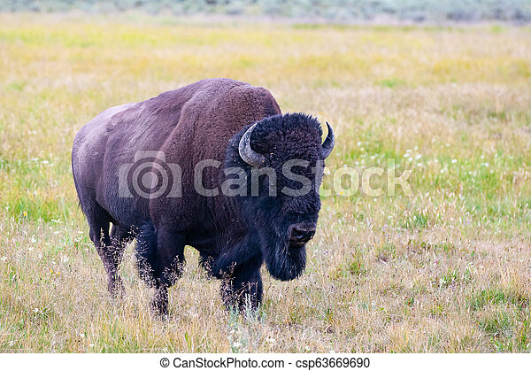 The bison in Yellowstone National Park, Wyoming. USA. - csp63669690