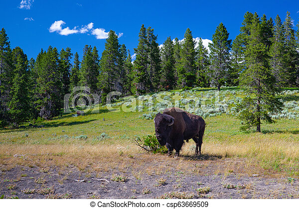 The bison in Yellowstone National Park, Wyoming. USA. - csp63669509