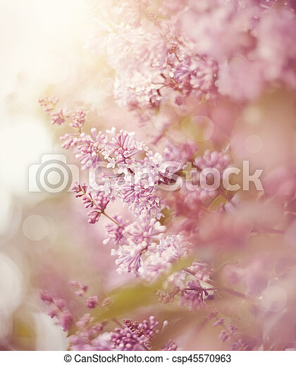The blossoming lilac in the spring. - csp45570963