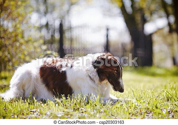 The borzoi lies on a grass. - csp20303163