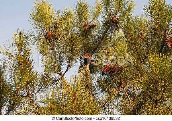 The branch of pine - csp16489532
