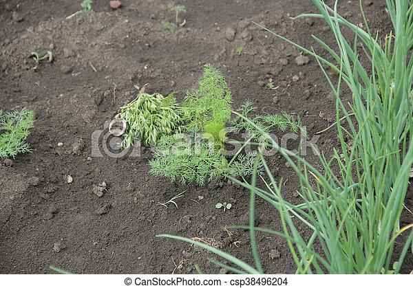 The Bush Dill In The Garden   Csp38496204