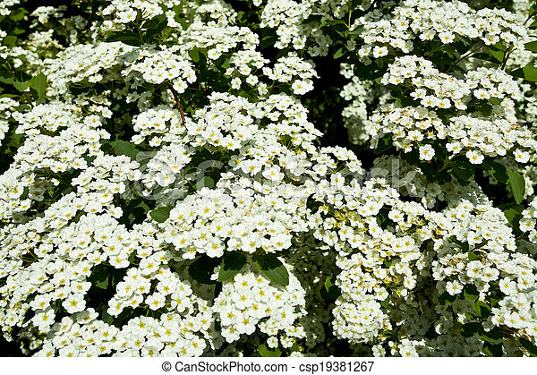 The bush white flowers in the spring stock image search photos and the bush white flowers csp19381267 mightylinksfo Gallery