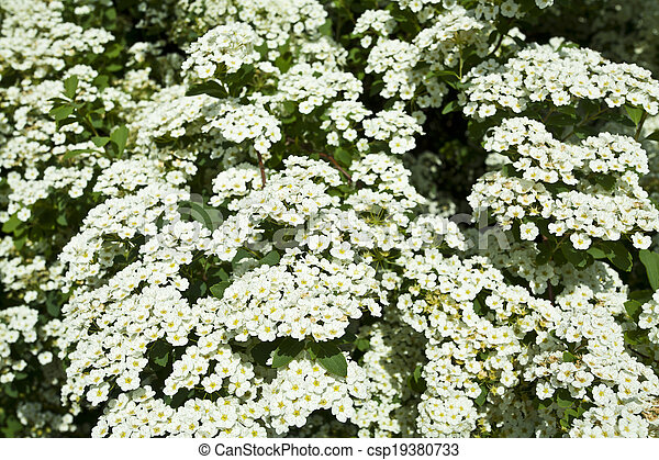 The bush white flowers in the spring stock photos search the bush white flowers csp19380733 mightylinksfo