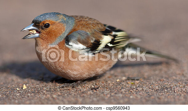 the chaffinch eats - csp9560943