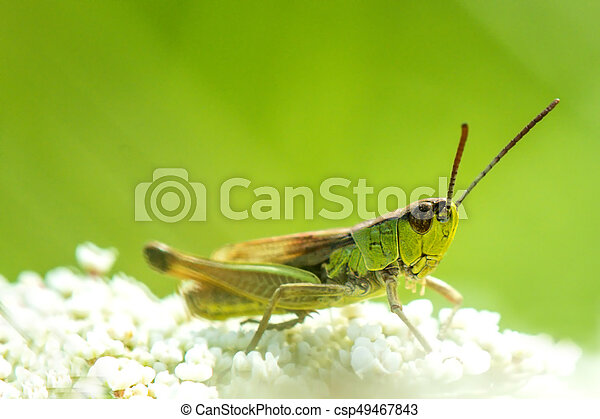 The common grasshopper in a meadow - csp49467843