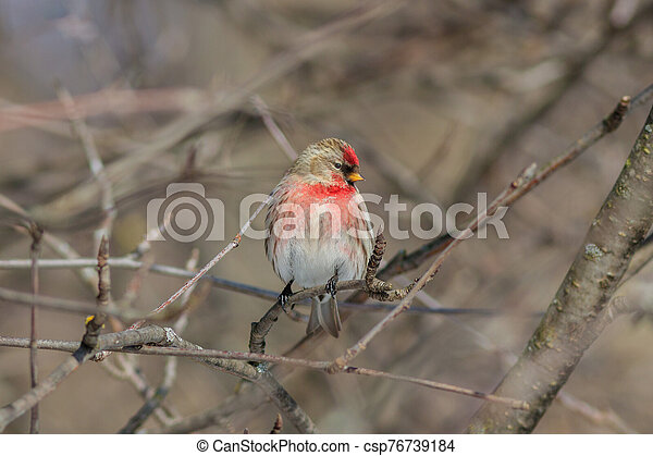 The Common redpoll on the branch in winter - csp76739184