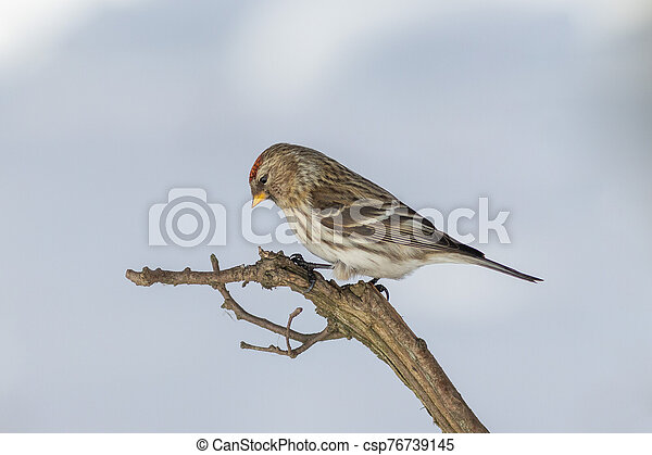 The Common redpoll on the branch in winter - csp76739145