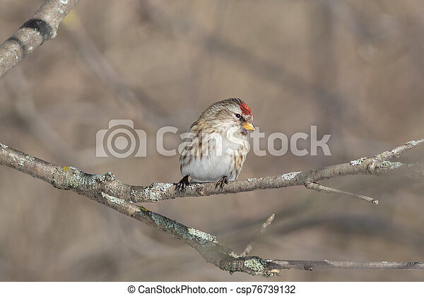 The Common redpoll on the branch in winter - csp76739132