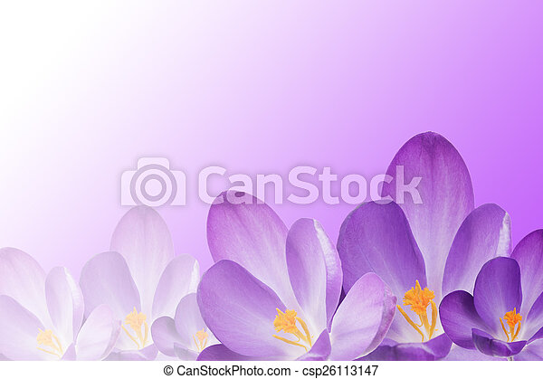 The crocus flowers on the purple white gradient the purple stock the crocus flowers on the purple white gradient csp26113147 mightylinksfo