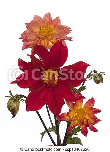 The decorative garden flowers - csp10467620