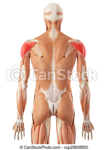 The Deltoid Muscle Medically Accurate Illustration Of The Deltoid