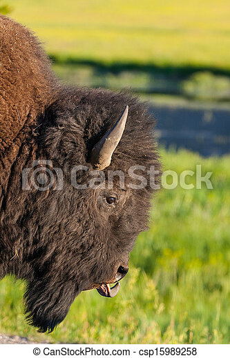 The detail of typical American Bison - csp15989258