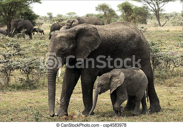 The elephant calf with mum - an elephant cow. - csp4583978