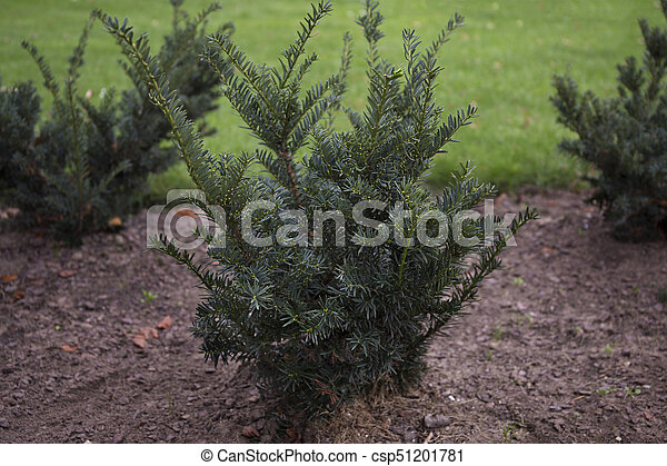 The english yew bushes in the park - csp51201781