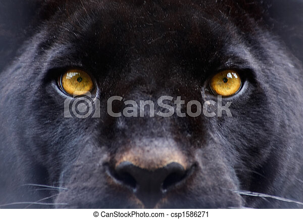 The eyes of a  black panther - csp1586271