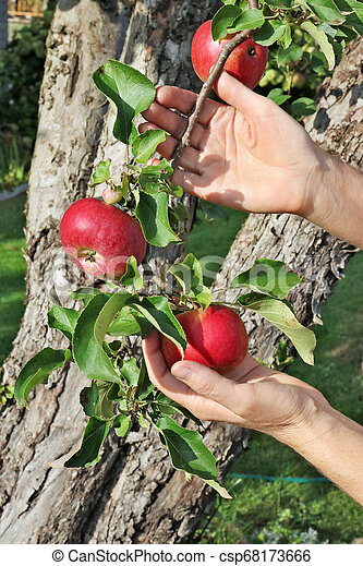 The farmer woman is holding red ripe apples on branches in his hand. - csp68173666