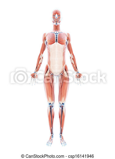 3d Rendered Illustration Of The Female Muscle System Drawing