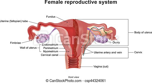 The female reproductive system illustration vector the female the female reproductive system illustration vector ccuart Gallery