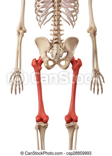 Medical Accurate Illustration Of The Femur Bone Stock Illustration