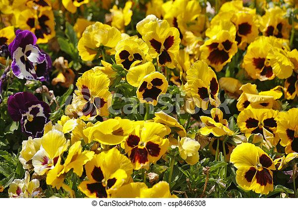 """The field flowers """"pansies""""  - csp8466308"""