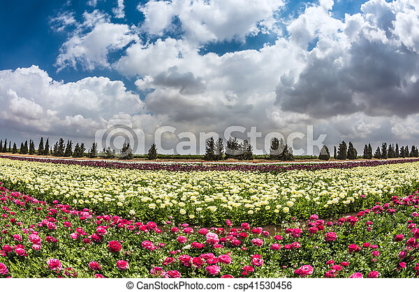 The field of buttercups - csp41530456