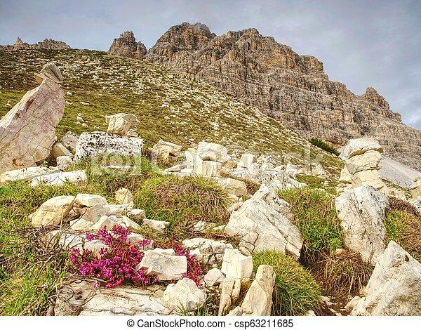 The first spring beautiful flowering Sextener Dolomiten, - csp63211685