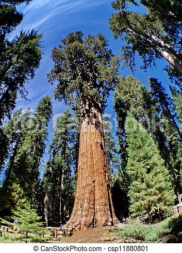 The General Sherman is a giant sequoia tree located in the Giant Forest of Sequoia National Park - csp11880801